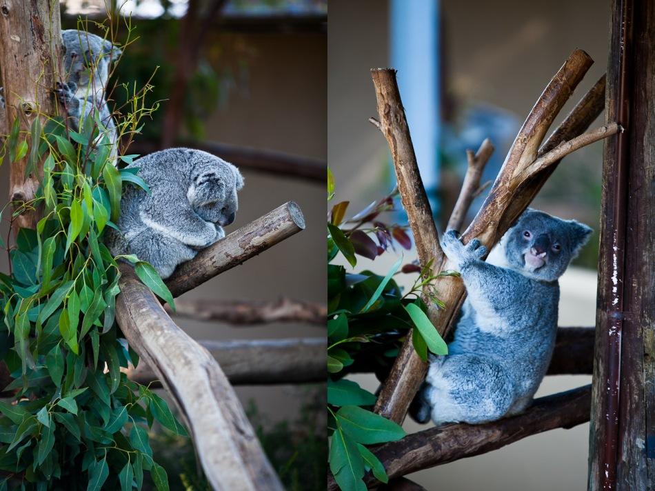 Koala Diptych